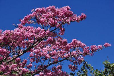 Ipês roxos na Avenida Beira Rio, em João Pessoa, florescem em novembro.