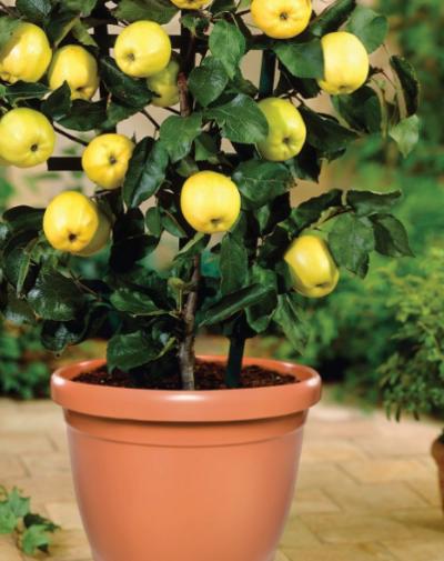 Aprenda a cultivar plantas frutíferas em pequenos espaços