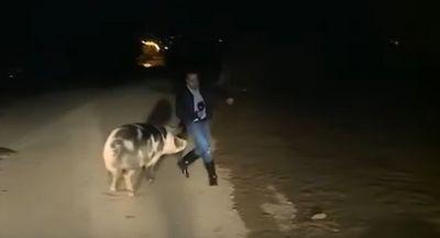 Vídeo: porco persegue e tenta morder repórter durante link ao vivo de telejornal