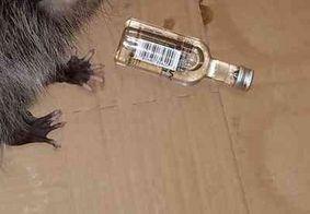 Gambá invade loja de bebidas e fica embriagado com uísque