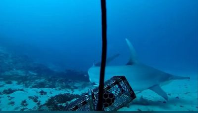Espécie rara de tubarão-martelo é avistada em João Pessoa