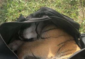 Filhote de tigre é encontrado dentro de mochila abandonada