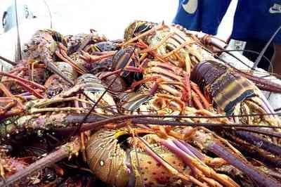 Fiscalização apreende carga irregular de lagosta avaliada em R$ 25 mil, na PB