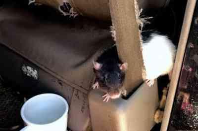 Mulher que vivia com 320 ratos em carro é denunciada por vizinhos