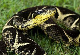 Substância em veneno de cobra pode inibir avanço da covid-19