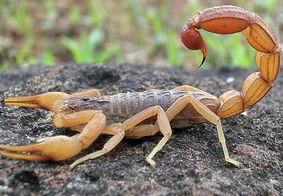 Saiba como prevenir picadas de escorpião, mais comuns no verão