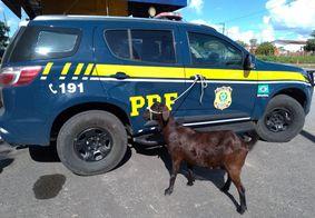 Casal é detido após furtar cabra de um sítio na Paraíba