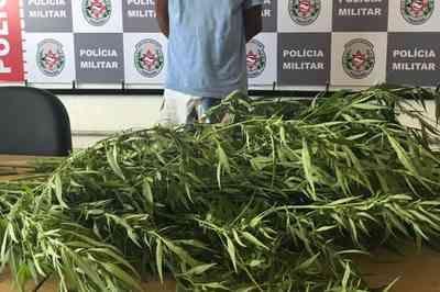 Gesseiro cultivava plantação de maconha no quintal de casa, diz PM