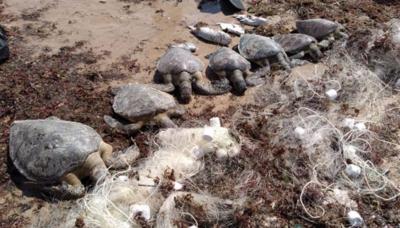 Você viu? Sete tartarugas são encontradas mortas em João Pessoa