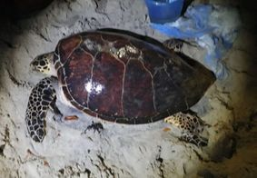 Voluntários fazem resgate de tartaruga marinha no Litoral Norte da Paraíba; veja