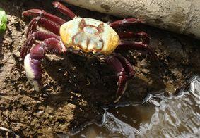 Captura do carangueijo está proibida