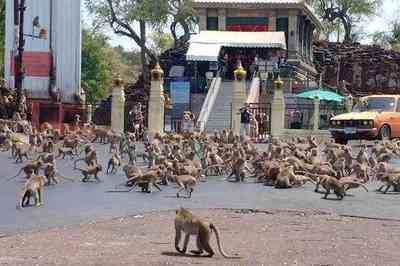 Vídeo: calor e coronavírus fazem macacos viverem em guerra na Tailândia