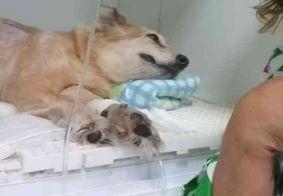 Cadelinha que esperou dono na porta de hospital oncológico está com câncer; saiba como ajudar