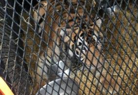 Tigre encontrado por homem que invadiu casa para fumar maconha é levado para santuário animal
