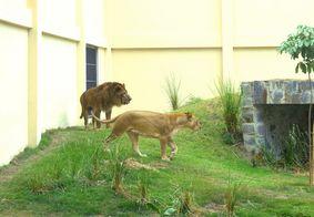Após surto de coronavírus, Leoa morre de Covid-19 em zoológico