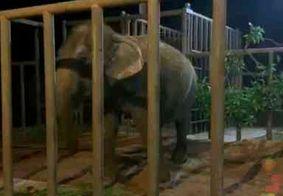 Após viagem de quase cinco dias, elefanta Lady chega ao Santuário de Elefantes