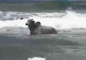 Boi é flagrado dentro do mar ao lado de surfistas em Salvador