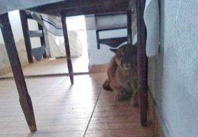 Vídeo: Onça é encontrada em residência no Paraná