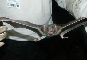 Vídeo de morcegos em laboratório levanta polêmica sobre origem do coronavírus