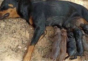 Cadela adota 8 porquinhos após mãe de filhotes morrer durante o parto