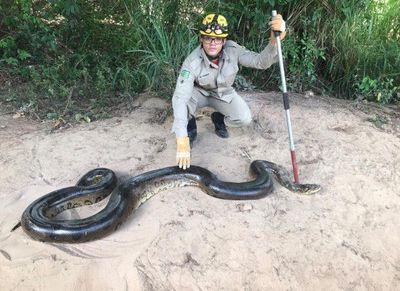 Vídeo: sucuri de 6 metros é capturada após comer animais domésticos em Goiás