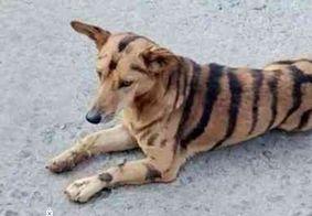 Agricultor pinta listras de tigre em cachorro para afugentar macacos de plantação